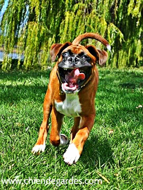 chien boxer