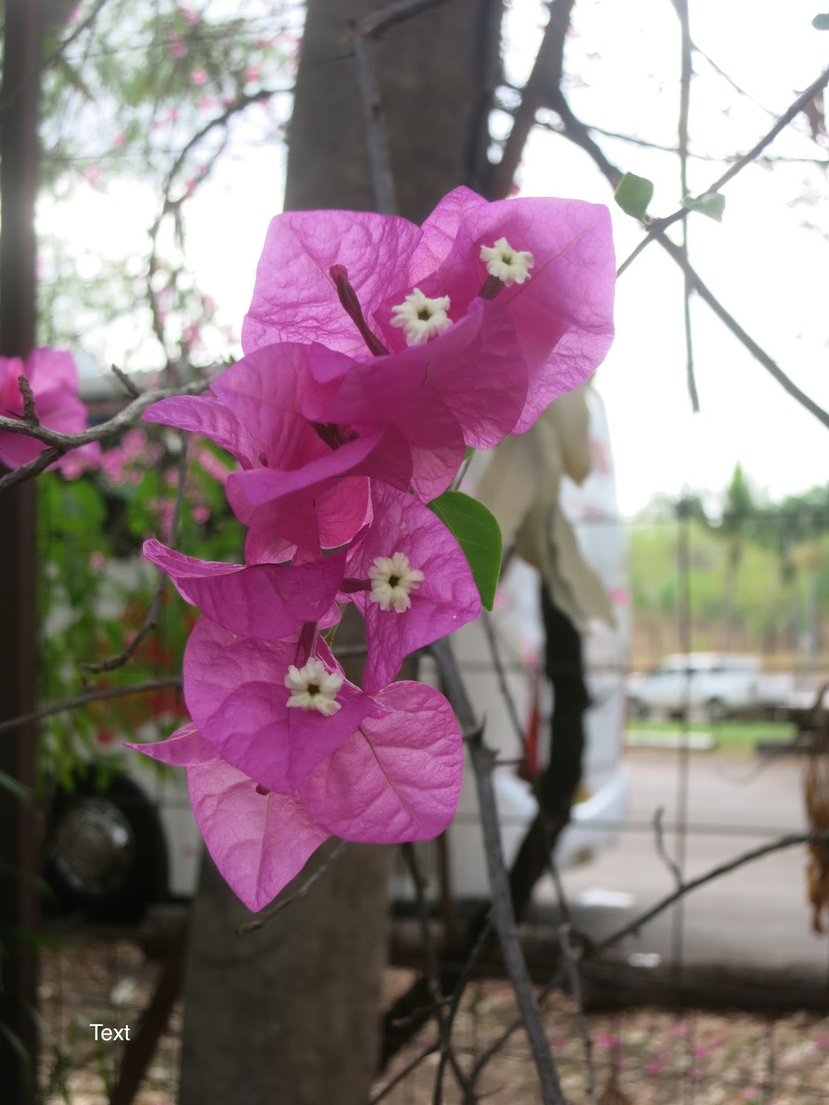 A Wandering Botanist: Plant Story--Bougainvillea, from ...