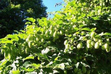 http://3.bp.blogspot.com/-iV0PsF2kjL8/UNn6gVF00CI/AAAAAAAAAps/anCMpUiFIDE/s1600/hops.jpg