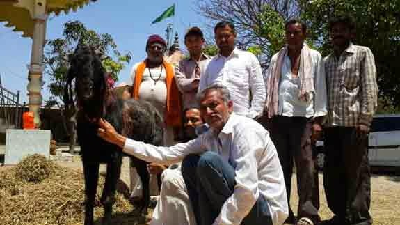 Milking Goat at Amreli Gujarat