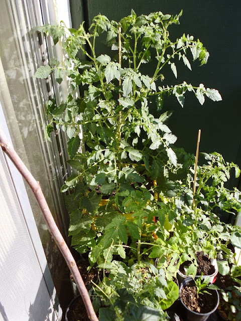 Left Balcony Tomato Plant