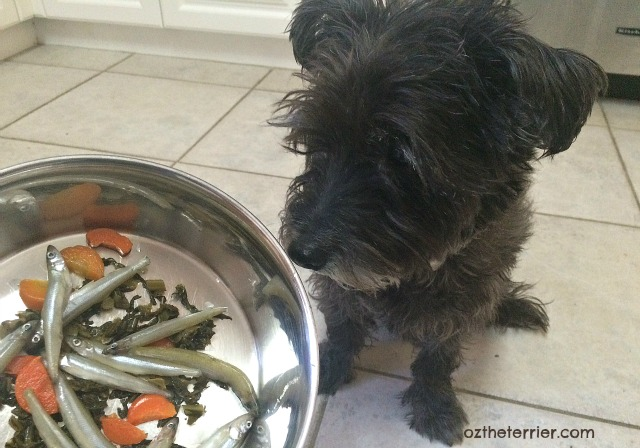 Oz the Terrier - should you add raw smelt into your dogs diet