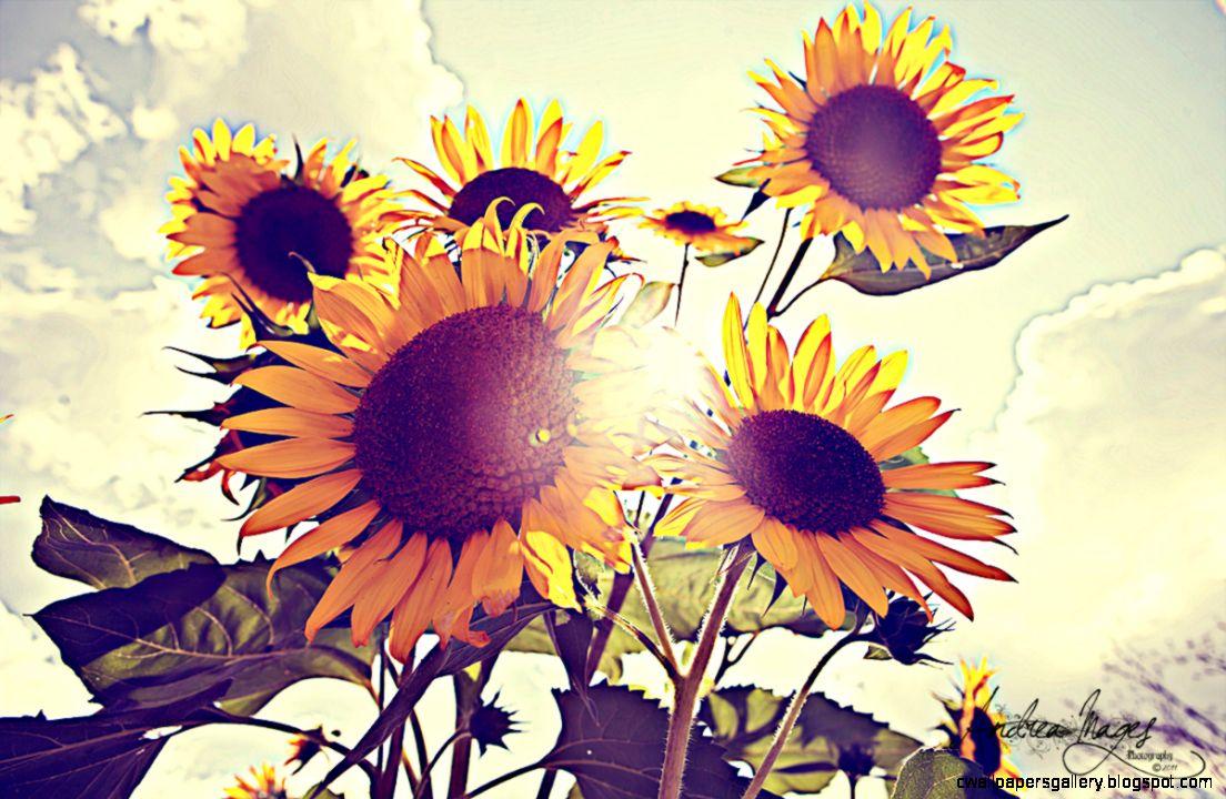 Vintage Sunflowers Tumblr Related Keywords  Suggestions   Vintage