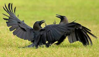 Cuervos peleando