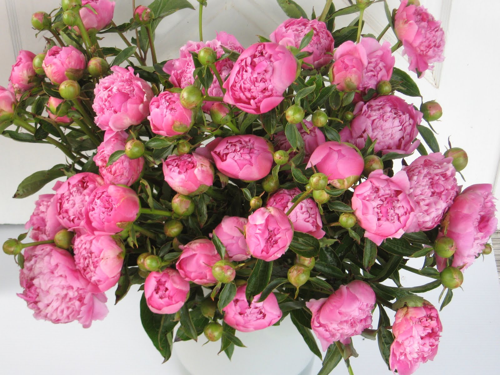 Peonies Season Adorable Of Peonies Flowers Season Pictures
