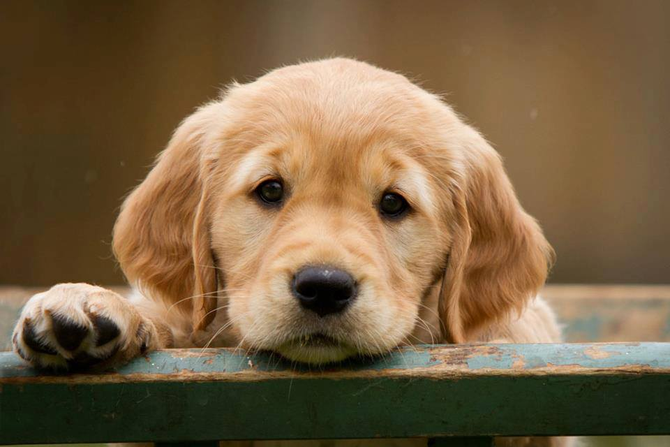 How much does a Golden Retriever Puppy Cost?