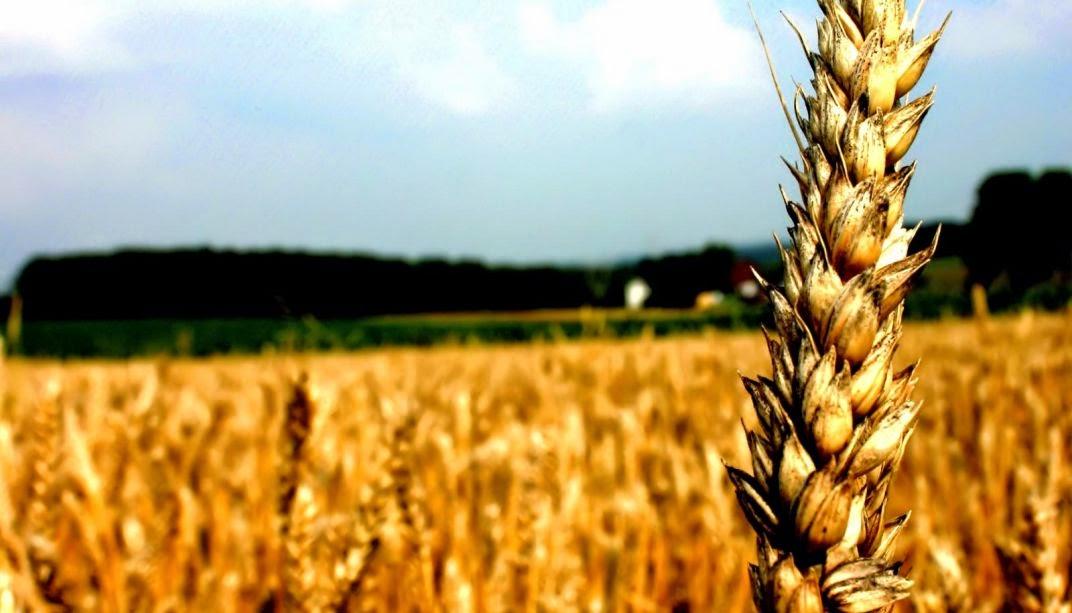 El trigo y las gramineas