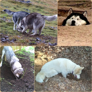 husky facts 2