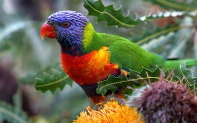 Lorikeets Bird Picture
