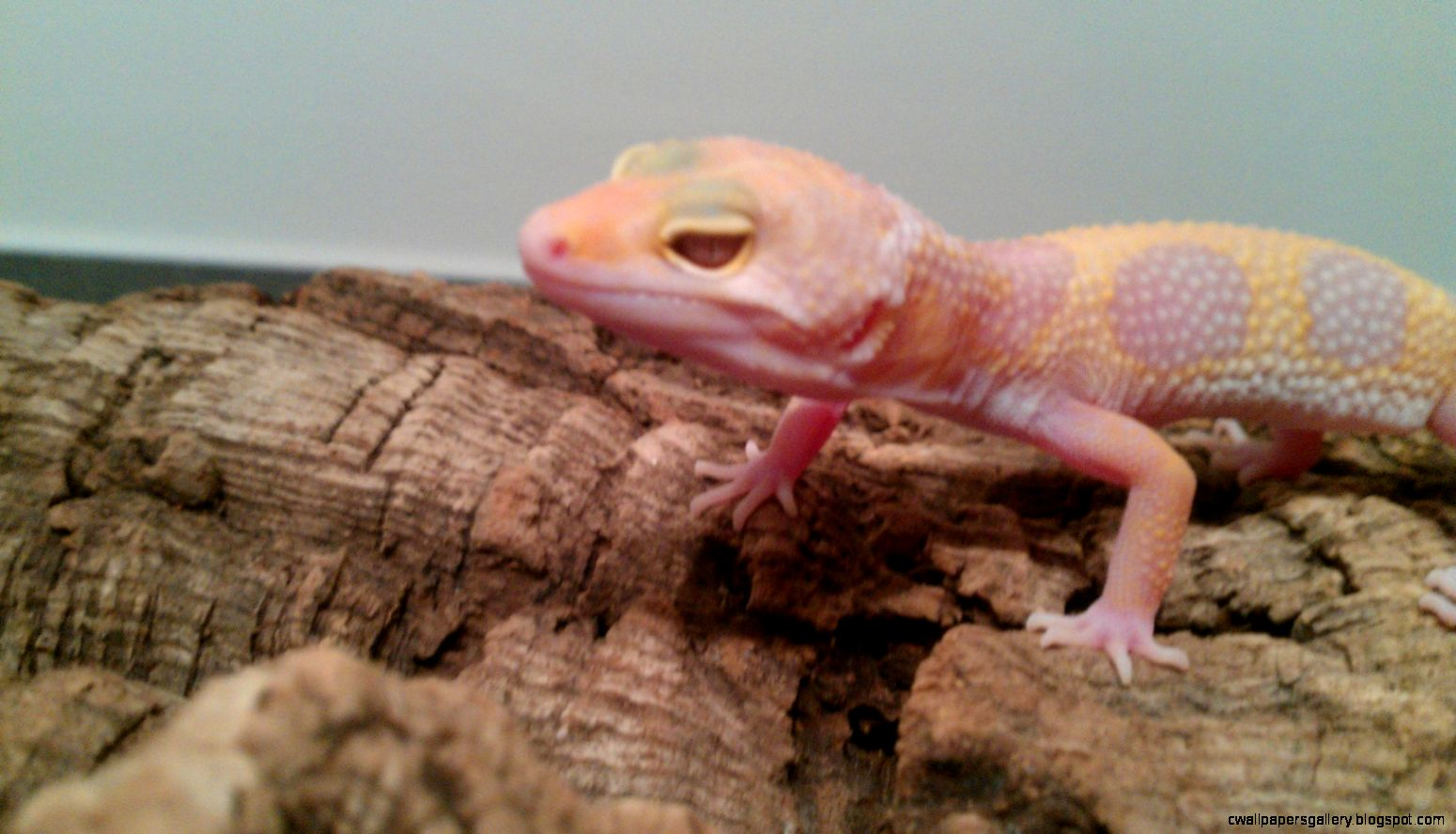 SE England Leopard geckos ready for sale Jungle tremper  F1