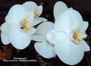 Phalaenopsis branca do blogdabeteorquideas