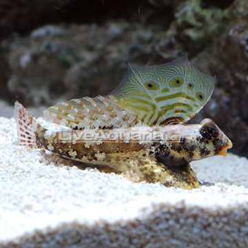 Setting up marine seahorse tank for Saltwater goby fish