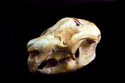 Nimbadon skull