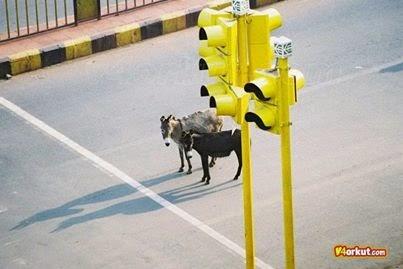 lampu lalulintas untuk hewan