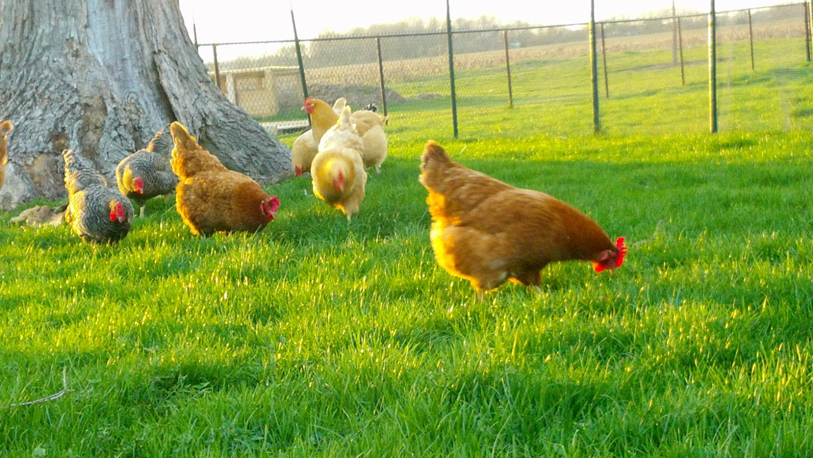 Windy acres tales for Can ducks and chickens share a coop