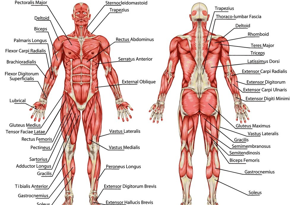 clash of worlds : the muscular system,