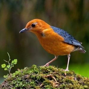 burung anis merah cara merawat anis merah yang benar tempat anis merah ...