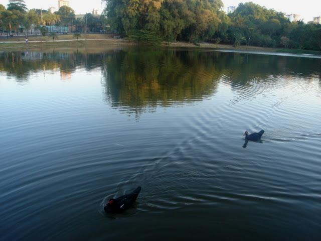 Lago do Parque Areião-Goiânia- deslizando na água do lago os patos oferecem pela  visão  transmitindo momentos de muita paz.