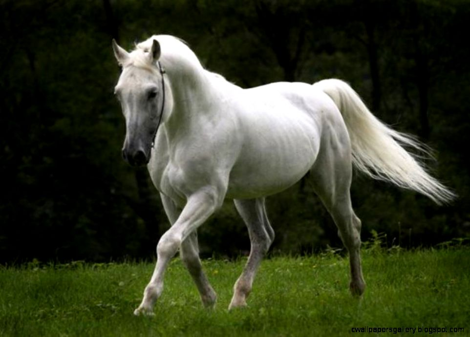 White Horse Desktop Wallpapers  White Horse Pictures  Cool
