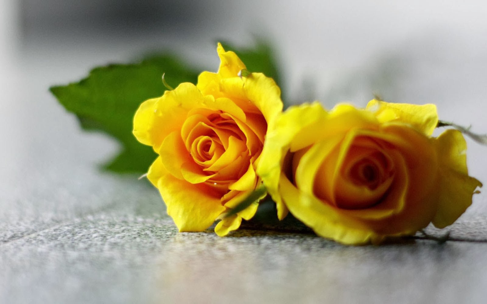 wallpaper of yellow roses - photo #2