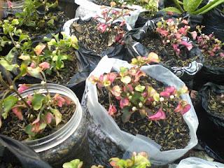 bunga kiriminil tiga warna
