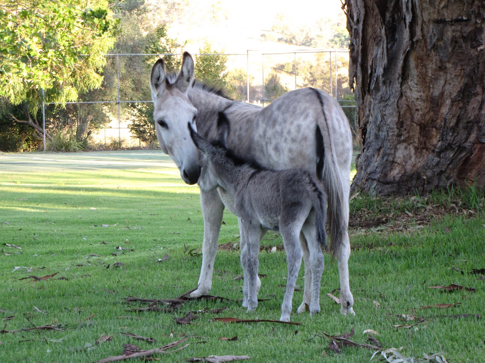 The Belltrees Menagerie Boasts A New Baby Donkey