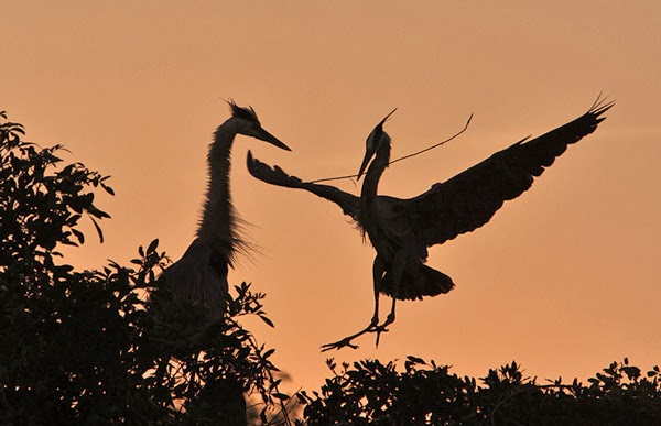 GREAT BLUE HERONS AT SUNSET