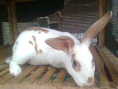 kelinci-14