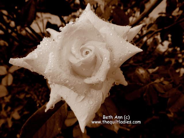 Rain drops on Roses (c) Beth Ann Strub