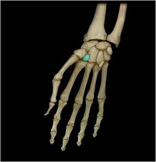 Трапециевидная кость os trapezoideum кость дистального ряда запястья