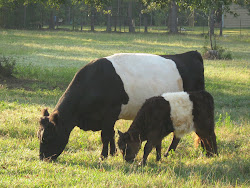 Belted Galloway and heifer calf