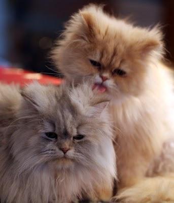 perserkatze die sch nsten bilder der beliebten katzenrasse katzen kleinanzeigen. Black Bedroom Furniture Sets. Home Design Ideas