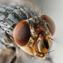 Illustration accompanying the online publication in Cosmos magazine of short story Houseflies by Joe Pitkin. Image shows close up of a fly.