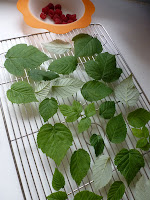 Drying raspberry leaves for raspberry leaf tea