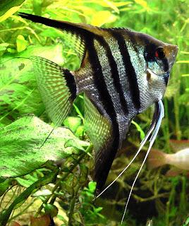 El acuariofilo junio 2011 for Pez escalar enfermedades