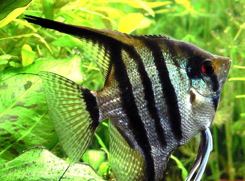 Pez ngel o escalar el acuariofilo for Comida viva para peces