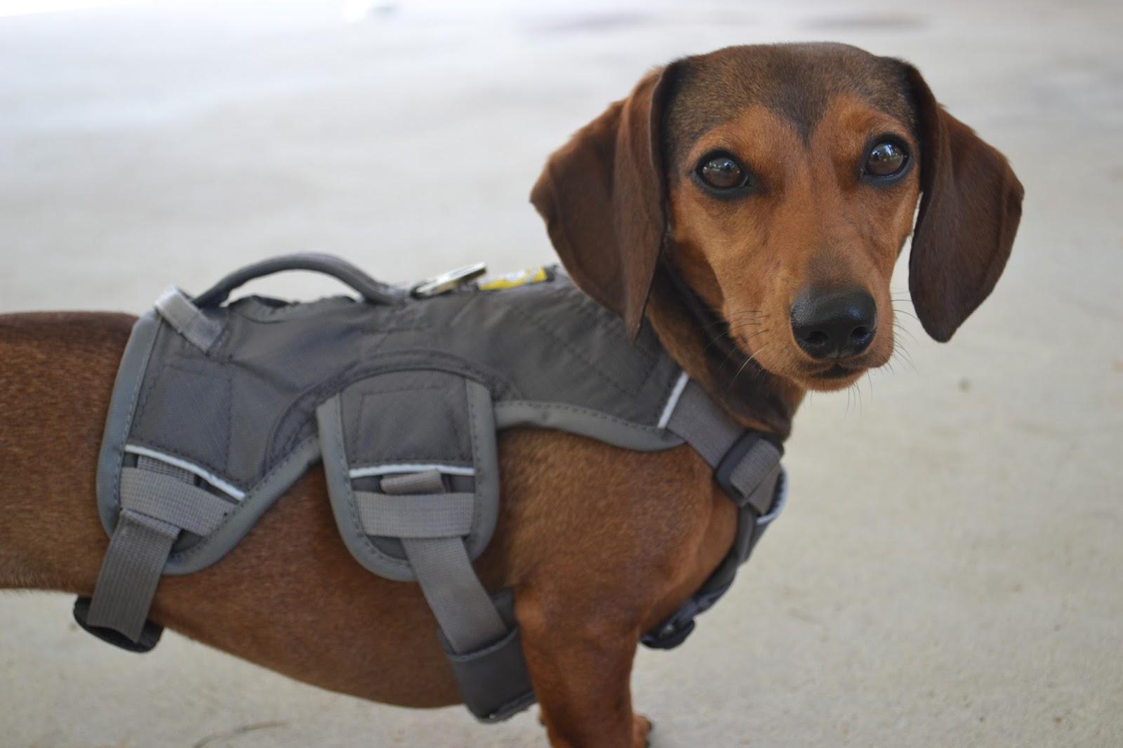 Best Dog Harness For Dachshund