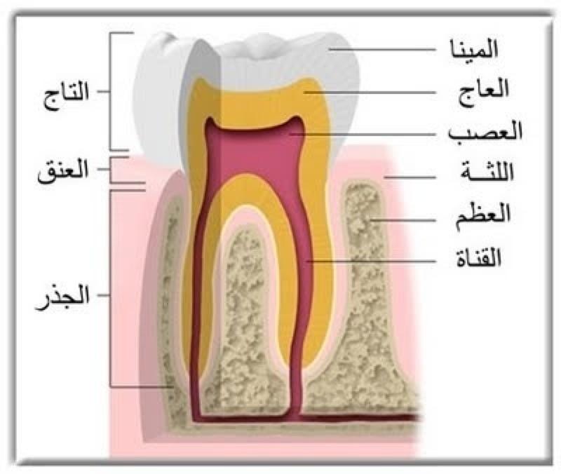 نتيجة بحث الصور عن تكوين الاسنان