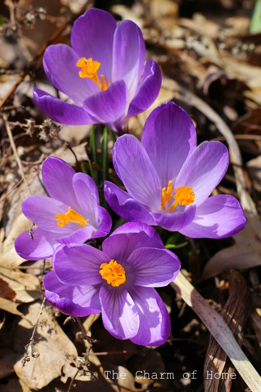 Crocus: The Charm of Home