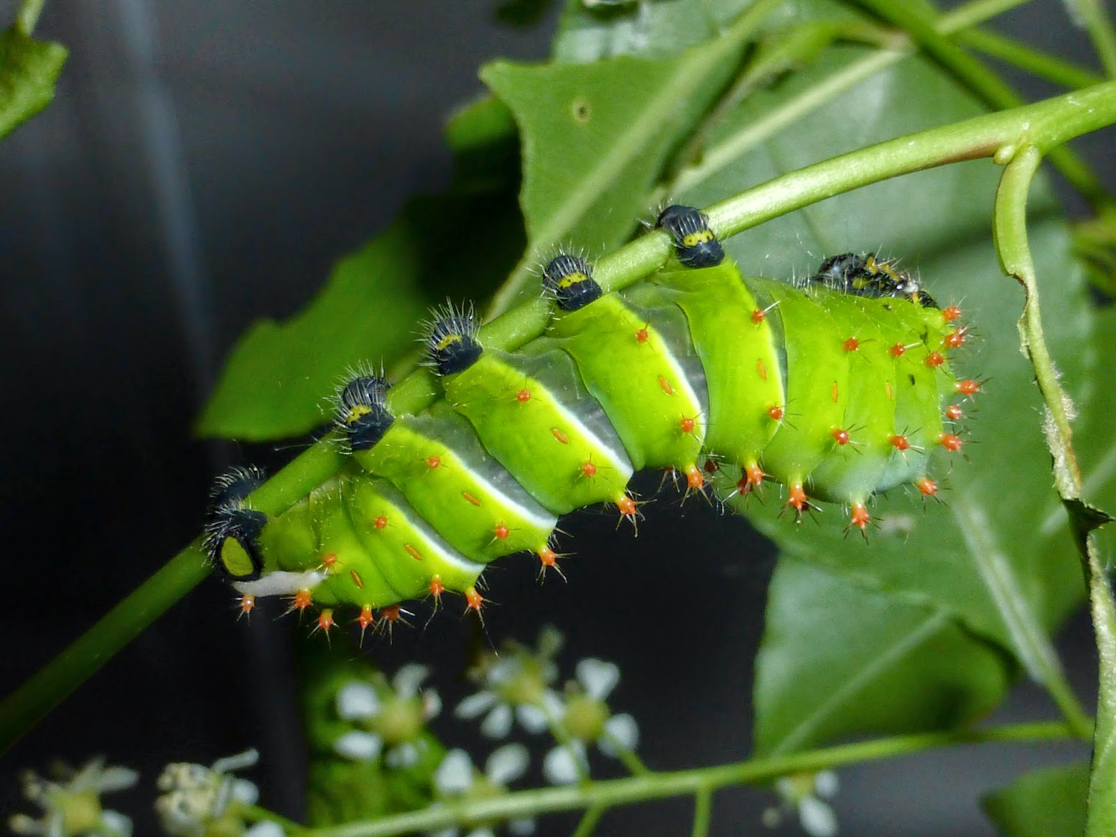 Rothschildia caterpillars