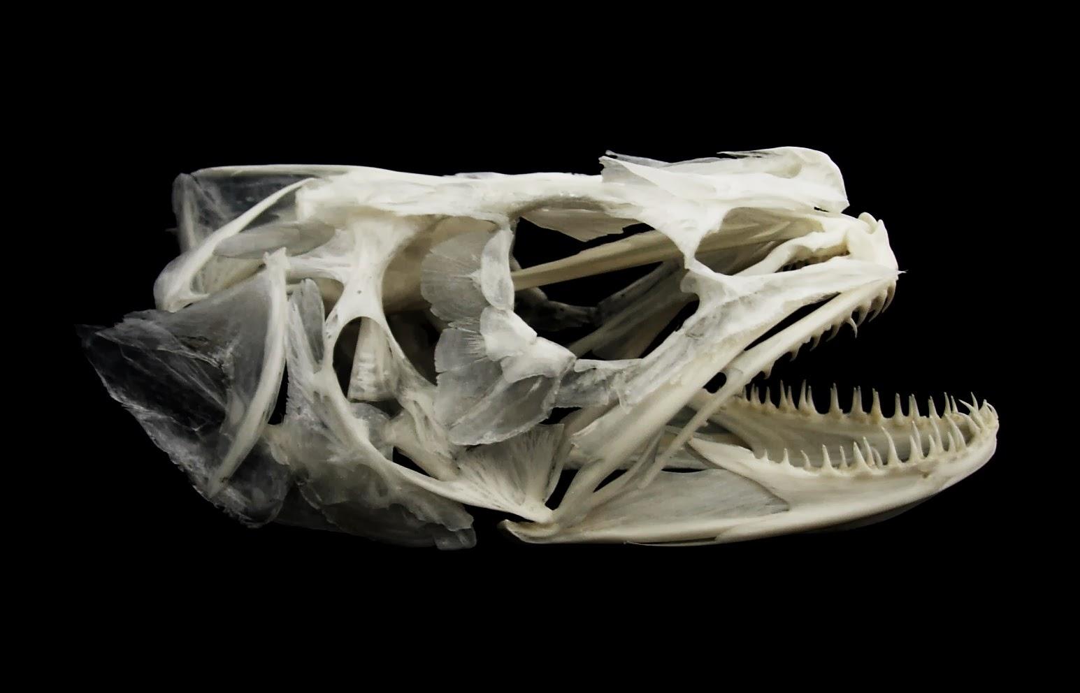Skulls, bones and fish soup: Sharks, skates and fish heads