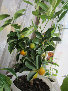 Каламондин с плодами