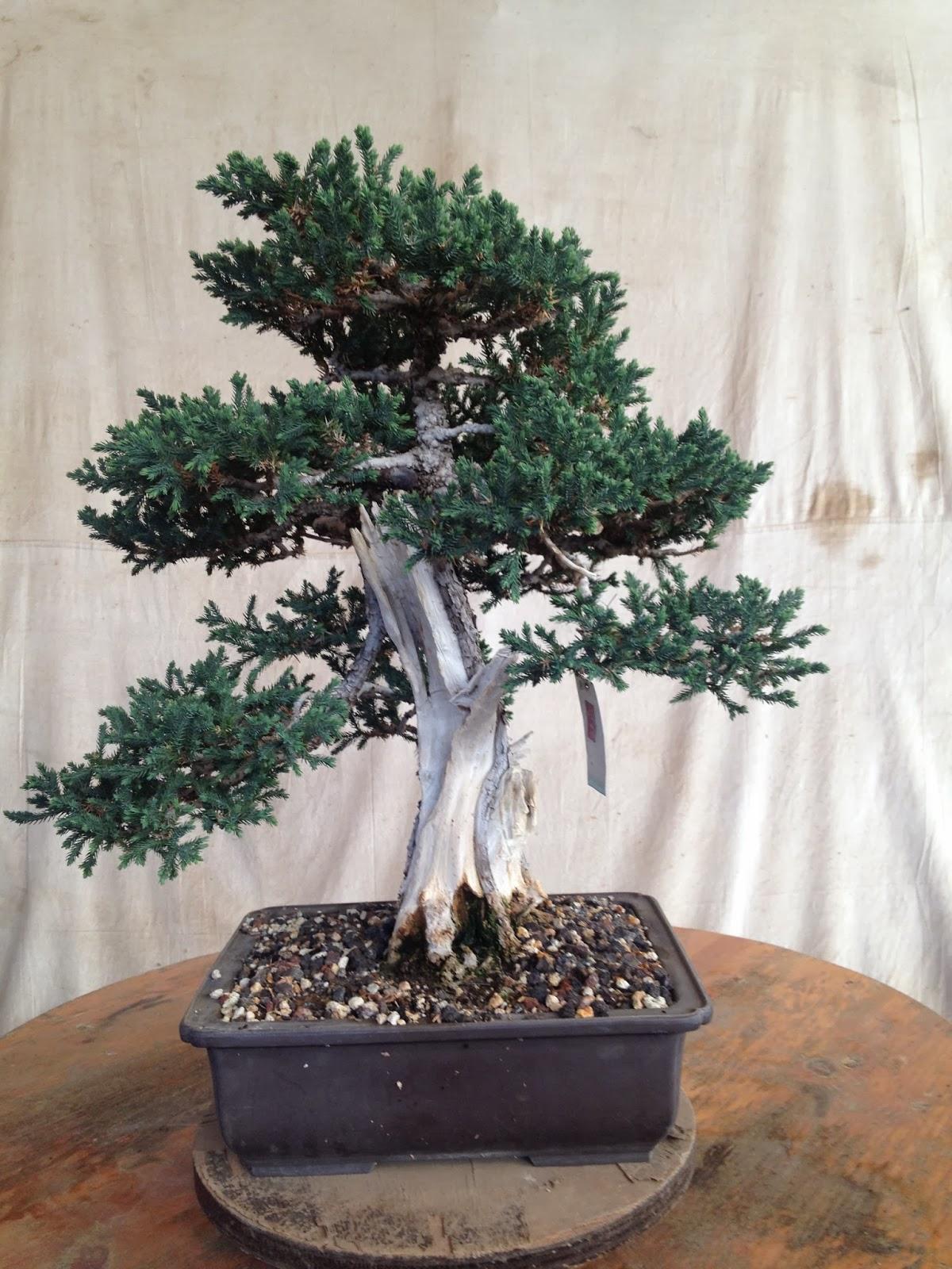 Bonsaibp39s Bonsai Blog