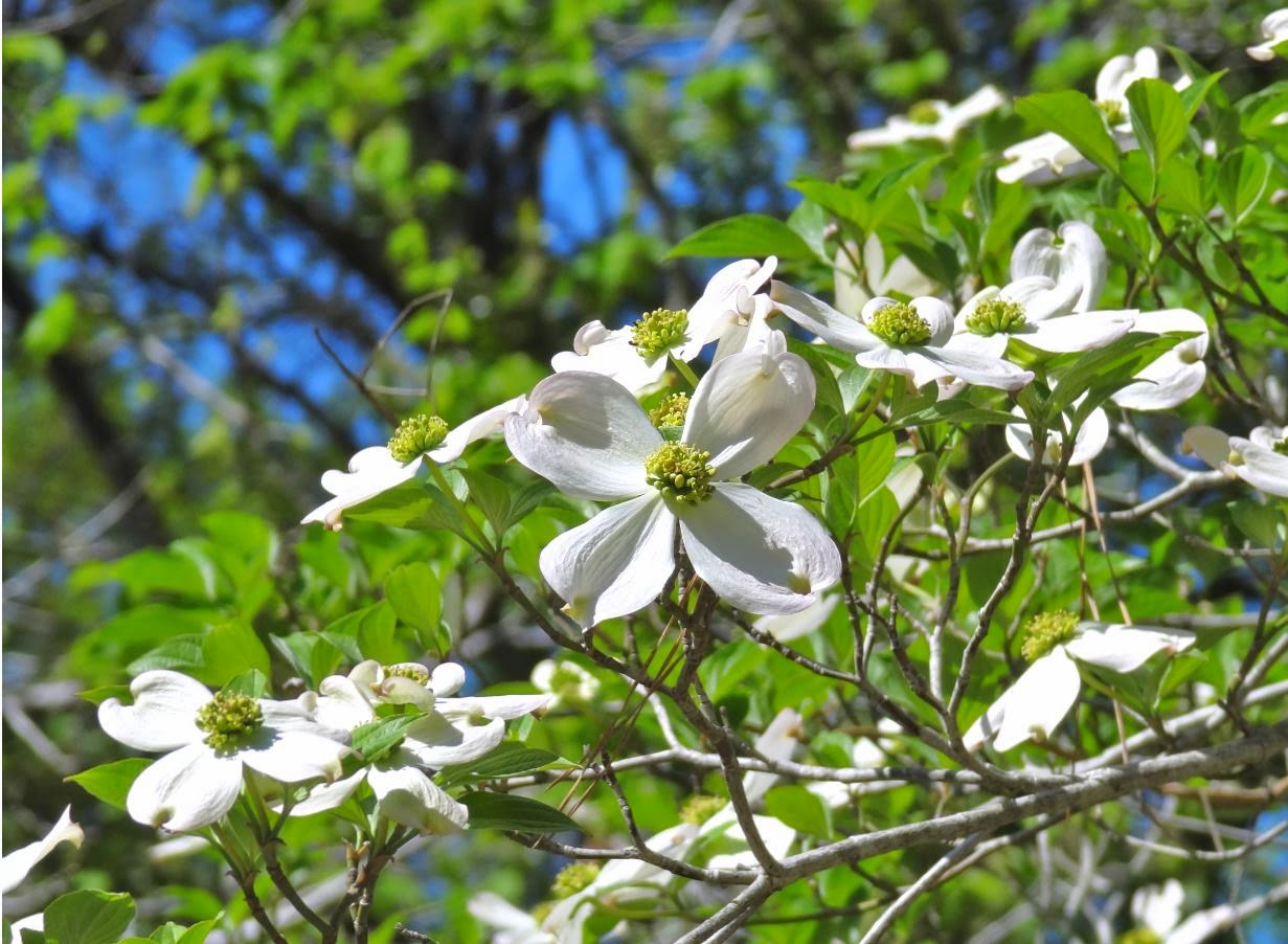 Flowering Dogwood | .................. Houston in Pics