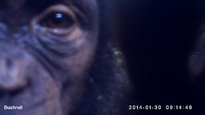 http://talk.chimpandsee.org/#/subjects/ACP0004tfv