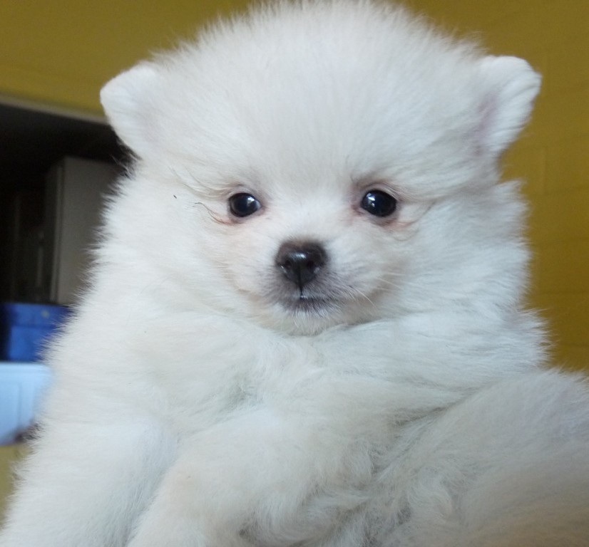 Pomeranian Dog Breed Information Pictures