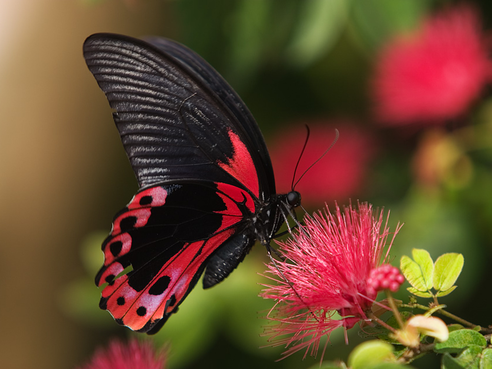 Butterfly wallpapers top best hd wallpapers for desktop for Butterfly wallpaper for walls