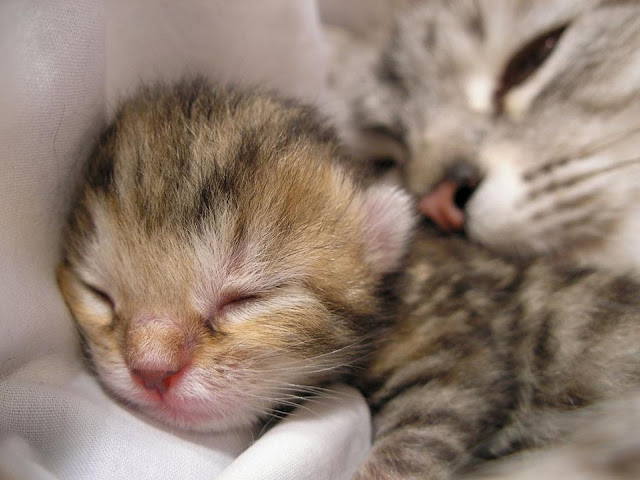 Adorable kitten sleeping with her mommy image