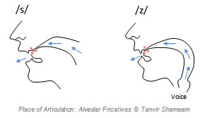 Alveolar Fricatives
