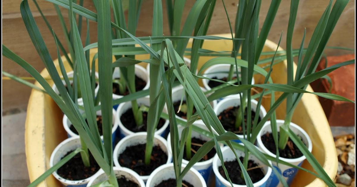 Выращивание лука-порея через рассаду 89
